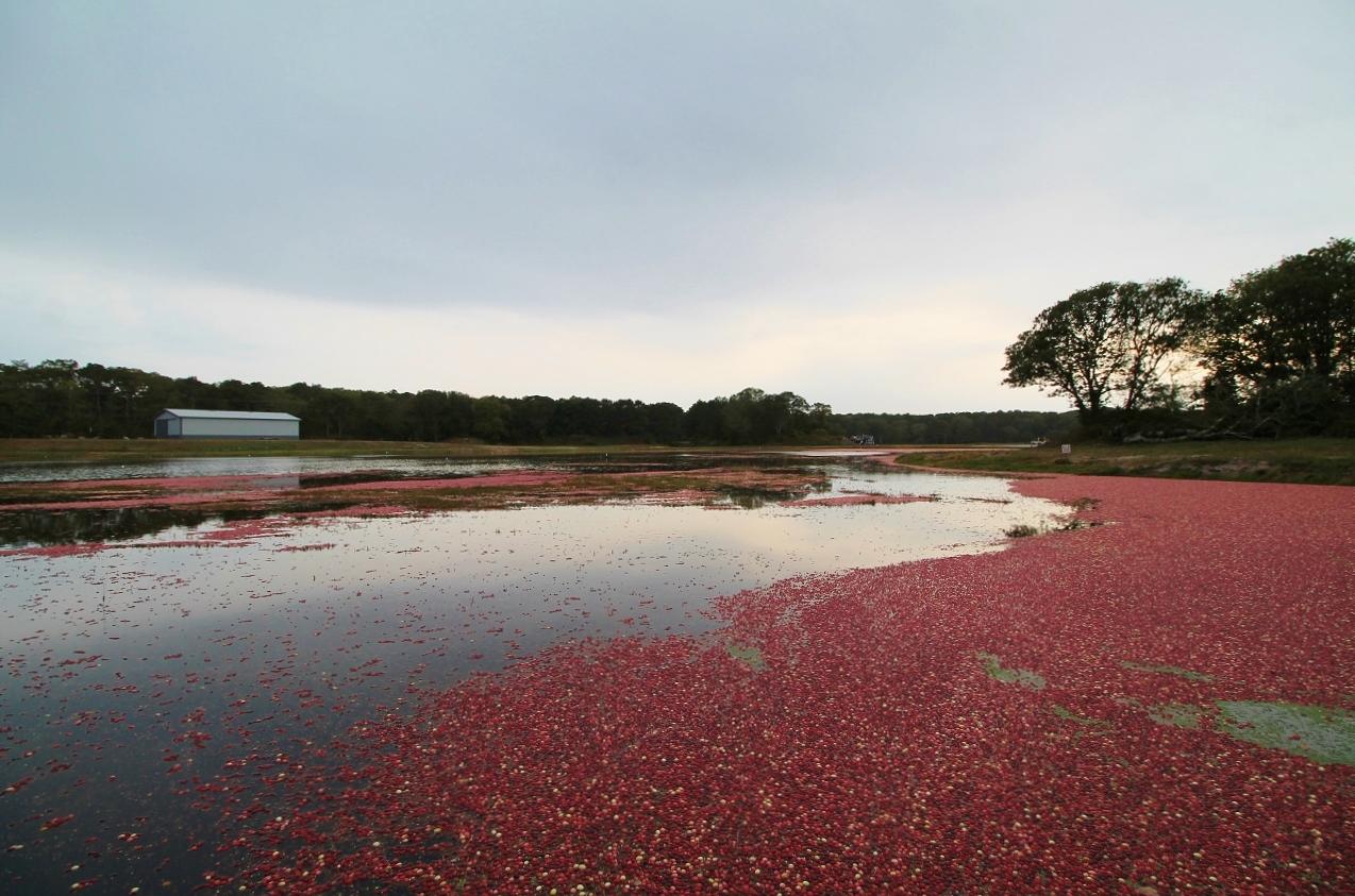 cranberry bog tour cape cod